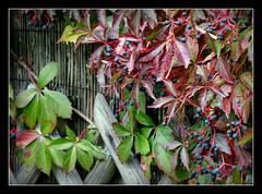 Herbst im Garten (karin_b1966) Tags: pflanze plant bltter leaves frchte fruits herbst autumn garten garden natur nature 2016 wilderweinparthenocissusquinquefolia yourbestoftoday
