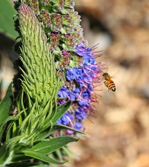 Busy buzzin' & collectin' Pollen (possumgirl2) Tags: bees nature flyinginsects
