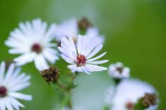 DSC01051.jpg (chagendo) Tags: pflanze makro makrofotografie sonyalpha7ii 90m28g outdoor