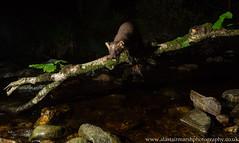 Pine Marten (Alastair Marsh Photography) Tags: pine pinemarten pinemartens pinemartenkit pineforest pinemartenkits marten animal animals animalsintheirlandscape mammal mammals britishwildlife britishanimals britishanimal britishmammals britishmammal river water stream night nightphotography nighttime nocturnal nocturnalmammal nocturnalmammals nocturnalwildlife scotland scottishwildlife scottishmammal scottishmammals scottishhighlands