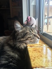Bird Watching Can Be Exhausting (A Wild Western Heart) Tags: rescue tabby chat kat gato cat chucky chuckythehorrible