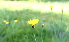 Flower (LamiaDeTenebris) Tags: flower yellow gelb blume garden garten nature natur wiese grass green grn flowers blumen bokeh