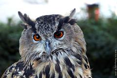 Eurasian_Eagle-Owl (Rick & Bart) Tags: eurasianeagleowl owl bird birdofprey bubobubo oehoemondesauvage animal aywaille zoo safari belgique belgie rickvink rickbart canon eos70d gününeniyisi thebestofday