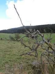 Girdle Stanes (jackanol) Tags: branches tree lichen moss