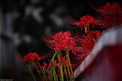 / Lycoris radiata (March Hare1145) Tags: flower  plant