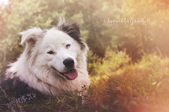 Sweet. (anouchkagauthier) Tags: dog australianshepherd beautiful light sweet