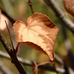 Ahhh... September Morning... (~~J) Tags: autumn fall leaf hearts brown cinnamon tree romance
