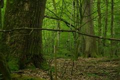 IMGP5215 (msklodowski) Tags: biaowiea primeval forest
