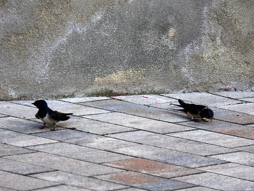 Mauersegler am Fuß der Basilika