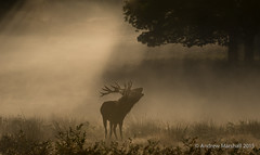 Red deer, (Cervus elaphus) (Gowild@freeuk.com) Tags: reddeer stag rut autumn stags antlers clash battle mist morning light richmondpark nature mammal animal wild wildlife uk british andrewmarshall photography nikon monochrome outdoor sky serene platinumheartawards platinumheartaward