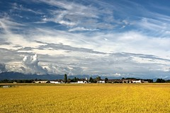 Yellow rice fields () Tags: riso rice field fields risaie risaia cielo sky paesaggio landscape giallo yellow spighe ears campagna country agricoltura nuvole clouds