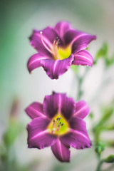 Double Trouble... (zoomclic) Tags: canon closeup colorful 5dmarkii ef85mmf12liiusm f12 dof dreamy daylily double flower foliage bokeh purple green garden yellow pistil summer stamen nature zoomclicphotography