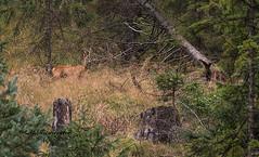 Reebok / Capreolus capreolus (m.ritmeester) Tags: ngc naturelovers natuur pertisau oostenrijk ree groen bruin