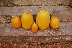 Heirloom Omaha Pumpkins (obsequies) Tags: omahapumpkins omaha pumpkins rare variety fall autumn harvest orange leaves homestead homegrown home grown gourds heirloom halloween decor canada squah spooky whimsy whimsical cottage country life chic beautiful leafy love stems plant garden