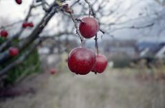 Apple (Florian Thein) Tags: koblenz metternich apfel apple rot red herbst autumn film analog 35mm yashicat5 kodakgold200