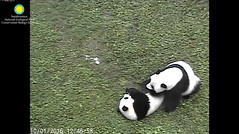 2016_10-01l (gkoo19681) Tags: beibei meixiang treattime yummyfruitcicle bigboyfruitcicle notsharing feetsies stealing togetherness toocute ccncby nationalzoo