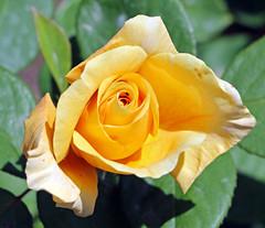 Maig_1362 (Joanbrebo) Tags: 16concursinternacionalderosesnovesdebarcelona canoneos70d efs18135mmf3556is eosd autofocus park parque parc parccervantes barcelona blumen blossom garden jard jardn flores flors flowers fiori fleur