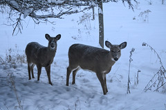 Mom and Youngster (NatureFreak07) Tags: winter snow animals deer foraging lemoinespoint kingstonon naturefreak07 hnainphotography