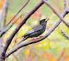 F_DSC_9250-紅嘴黑鵯-Black Bulbul-Himalayan Black Bulbul-Asian Black Bulbul-Square-tailed Bulbul-L24cm-羽-Feather-翼-Wings-鳥-苦練-Chinaberry Tree-台北市-Taipei City-台灣-Taiwan-中華民國-Rep of China-Nikon D300S-Nikkor 70-200mm-TC-14E II (May-margy) Tags: wings feather taiwan 台灣 taipeicity 鳥 台北市 tc14eii blackbulbul chinaberrytree 中華民國 羽 翼 紅嘴黑鵯 nikkor70200mm repofchina himalayanblackbulbul nikond300s asianblackbulbul maymargy squaretailedbulbul l24cm 苦練 maylee廖藹淳