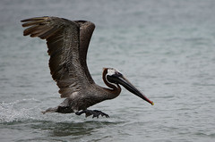 Galapagos - Floreana - Devils Crown - Pelican taking off (sweetpeapolly2012) Tags: