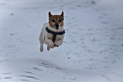 How To Avoid Cold Feet (me'nthedogs) Tags: snow flying jrt running terrier snaps jackrussell
