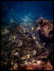 More butterfly fish.. (Kimberly Jansen) Tags: sea fish nature coral divers underwater olympus snorkeling zanzibar reef underwaterphotography tg1 fcon butterflyflish kimberlyjansenphotography toughtg1