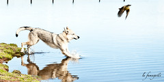 lufumagalli05012013_DSC7475exp (LuFumagalli) Tags: dog photo wolf cachorro lobo fotografia brincando correndo 2013 lufumagalli lufumagallifotografia