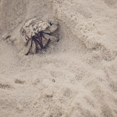 So vulnerable (*ZooZoom) Tags: life beach animal hermitcrab square sand asia sensitive fear xp maldives instinct maldiveislands so sovulnerable lifeitself