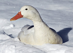 Winter White (PhotoArtOne) Tags: winter white snow nature wildlife goose