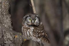 Boreal Owl (Laura Erickson) Tags: minnesota twoharbors lakecounty borealowl aogoliusfunereus