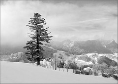 Big tree with Rehhag in the background (Werner Koenig) Tags: winter blackandwhite bw mountain snow tree nature canon landscape switzerland countryside blackwhite nebel natur jura baw baselland eptingen blchen canong10 powershotg10 flickricious365 laufmatt