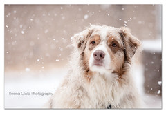 Alternative to 7 | 52 Weeks for Dogs (Aussies4me_ReenaG) Tags: snow olivia anthony snowing boomer snowprincess 52weeksfordogs february2013