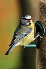 Another Blue Tit (Sybalan,) Tags: blue birds tit feeding feeder feeders feathered rspb lochwinnoch