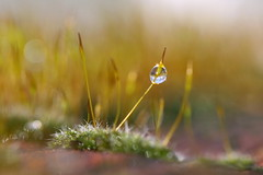 it's a small world , explored! ( #448 ) (bugman11) Tags: winter macro nature water canon droplets moss drops flora nederland thenetherlands drop droplet thegalaxy allxpressus platinumheartaward goldenart 100mm28lmacro mygearandme mygearandmepremium mygearandmebronze mygearandmesilver mygearandmegold mygearandmeplatinum mygearandmediamond ringexcellence blinkagain allnaturesparadise flickrstruereflection1 vigilantphotographersunite