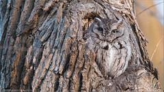 Eastern Screech Owl (Raymond J Barlow) Tags: travel art nikon wildlife adventure owl teaching avian d800 200400vr allnaturallight visipix raymondbarlowtours