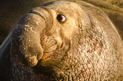 I didn't do it! (ronniegoyette) Tags: mammals elephantseal droh dailyrayofhope dailyrayofhope2013