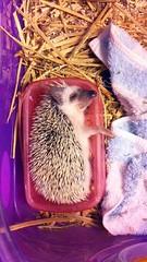 A hedgehog sleeping on its side (tengds) Tags: sleeping pet bed hedgehog ziggy householdpet foodcontainer tengds