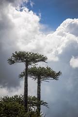 Araucarias en el Parque Nacional Nahuelbuta (Carlos Reusser Monslvez) Tags: araucaria cordilleradelacosta caete araucariaaraucana parquenacional angol pionero araucariaceae nahuelbuta pinoaraucaria