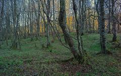 CF001421:22 Forest Panorama Stitch (VadimBL) Tags: autumn trees grass forest mediumformat scotland moss highlands stitch branches shift photomerge lichen birch schneider kreuznach alpa phaseone 43mm digitalback 12stc