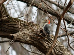 "Red-bellied Woodpecker • <a style=""font-size:0.8em;"" href=""http://www.flickr.com/photos/92887964@N02/8515105283/"" target=""_blank"">View on Flickr</a>"