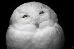 Watch the eye, fancy pants! (chmeermann) Tags: bird zoo eyes nikon beak owl augen nikkor predator tierpark gelsenkirchen snowowl raubvogel vogel schnabel snowyowl schneeeule 70300 eule colorkeying raubtier d80 zoomerlebniswelt arcticowl greatwhiteowl colorkeyingistschn colorkeyingrules colorkeyingforpresident