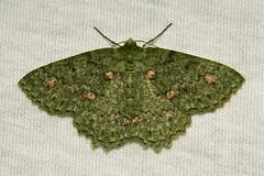 Geometrid Moth (Herochroma ochreipicta, Geometrinae) (John Horstman (itchydogimages, SINOBUG)) Tags: china white macro green insect moth lepidoptera geometridae yunnan onwhite trap aminus tumblr itchydogimages sinobug