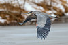 Big Blue on the move (Khurram Khan...) Tags: birds searchthebest ngc nj npc greatblueheron avian ardeaherodias birdphotography heronsandegrets specanimal njparks canon300mmf28 canon1dx