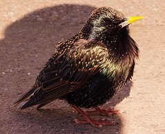 Can I shelter next to you? (Bev Goodwin) Tags: shadow bird starling crosby crosbybeach sonya37