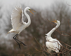 Nesting Egrets (Let there be light (A.J. McCullough)) Tags: birds texas egret rookery nesting highisland texasbirds houstonaudubon uppertexascoast smithoaks