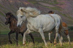 Icelandic Horse (Sigmundur Andresson (1.6 million+ views-Thank you!) Tags: horses horse nature animals fauna iceland ngc pony npc icelandhorses natureiceland img9247 canoneos5dmarkii canonef70200mm128lisiiusm sigmundurandresson