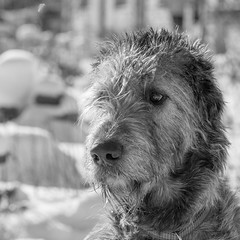 Potrait of a dog, 2 (Timo Toropainen) Tags: bw dog irishwolfhound