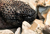 Mexican Beaded Lizard (Heloderma horridum horridum) (KimLomman) Tags: tulsa tulsazoo mexicanbeadedlizard beadedlizard helodermahorridum helodermahorridumhorridum