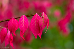 Memories of September II (CecilieSonstebyPhotography) Tags: pink autumn trees tree green leaves oslo canon leaf ngc ef100mmf28lmacroisusm