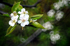 Pear flowers  (Melinda ^..^) Tags: china flowers white plant flower macro tree green spring blossom bokeh mel pear bloom melinda fruittree jiangxi   50mmf35 longnan chanmelmel hggt